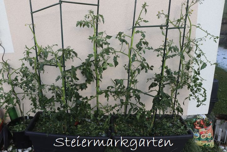 Hagelschaden-Tomaten-Steiermarkgarten