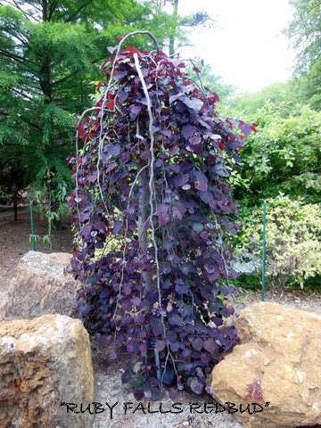 Ruby Falls Tree - Jackson Nursery