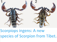 http://sciencythoughts.blogspot.co.uk/2015/05/scorpiops-ingens-new-species-of.html