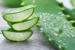 Manfaat Dan Khasiat Lidah Buaya (Aloe Vera)