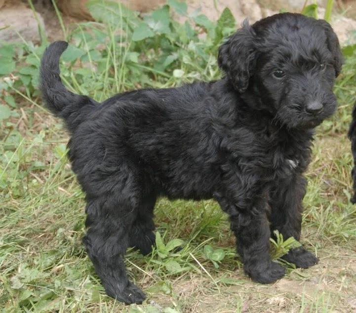 black-goldendoodle-straight-coat