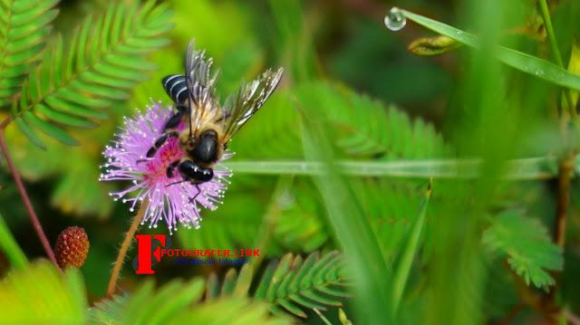 Hasil Foto Makro Lebah dan Bunga menggunakan lensa kit Sony 16-50 mm