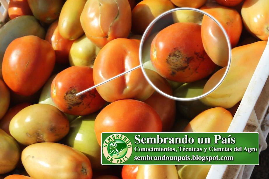 daño por quemadura en fruto de tomate