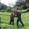 Anggota Satgas TMMD Ke-104 Kodim 0417/Kerinci, Bantu Warga Panen Sayur di Kebun