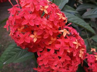 Jungle geranium flower