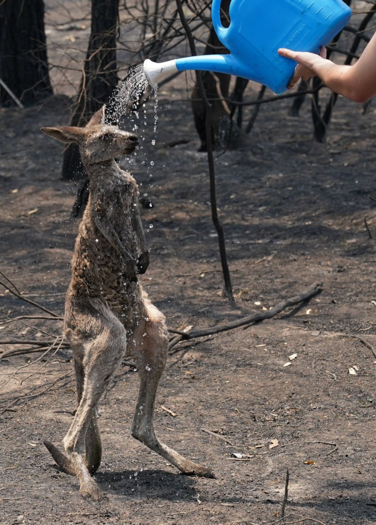 Heartbreaking photos show moment a kangaroo begs for help after being burnt in bushfires
