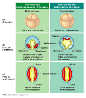 Perbedaan Protostoma dan Deuterostoma
