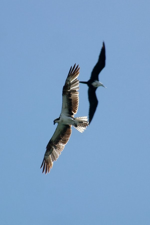 Osprey & Magnificent Frigatebird in flight
