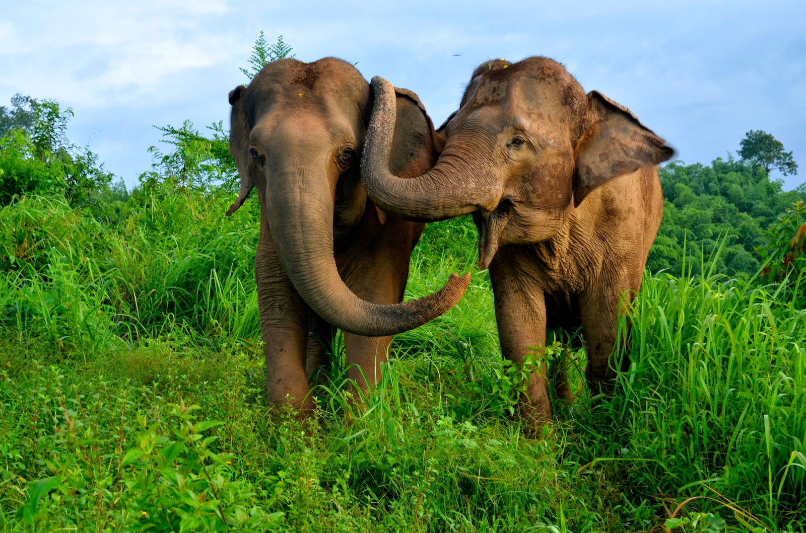 eScienceCommons: Asian elephants reassure others in distress