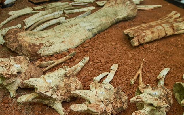 Fóssil do 'Arrudatitan maximus', que viveu no período Cretáceo, foi encontrado em Cândido Rodrigues (SP) em 1997 - Foto: Museu de Paleontologia de Monte Alto/Arquivo