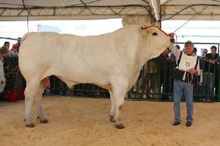 sapi terbesar di dunia -Chianina