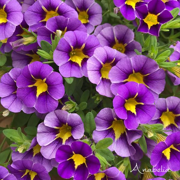 Mini-petunia flowers, Anabelia Craft Design