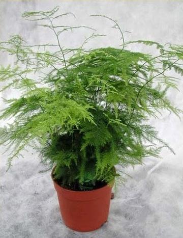 organic asparagus plants, asparagus plants for sale, asparagus fern, asparagus crowns, asparagus plant care, how to grow asparagus, growing asparagus plants, asparagus fern care