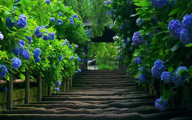 Picturesque Hydrangea flower field in Da Lat 1