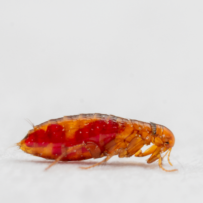 Fleas can not only infest your dog, it can also infest your home