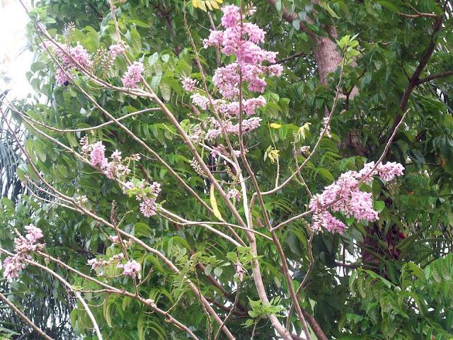 madre de cacao halamang gamot sa eczema