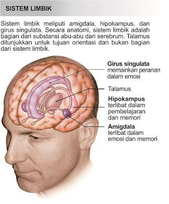 Sistem limbik Fungsinya Respon otonom terhadap bau, motivasi, emosi, mood, memori, dan fungsi lainnya.