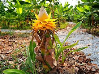 ต้นกล้วยดารารัศมี, กล้วยคุนหมิง Musella lasiocarpa