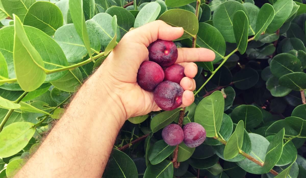 literatura paraibana poesia germano romero guajirus praia nordeste fruta regional