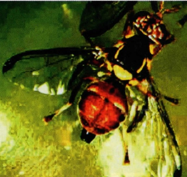 Cara Efektif Membasmi Lalat Buah Dan Serangga Penggangu