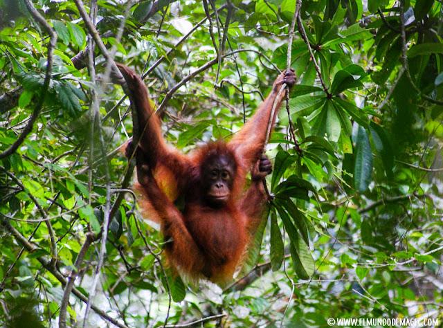 ver-orangutanes-en-borneo-sepilok-encuentro-en-la-selva