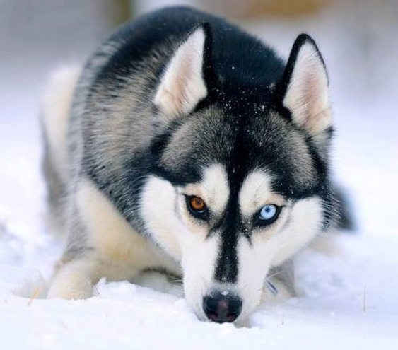 Cute Wallpapers Gold White White Wolf 20 Striking Photos Of Huskies With Different
