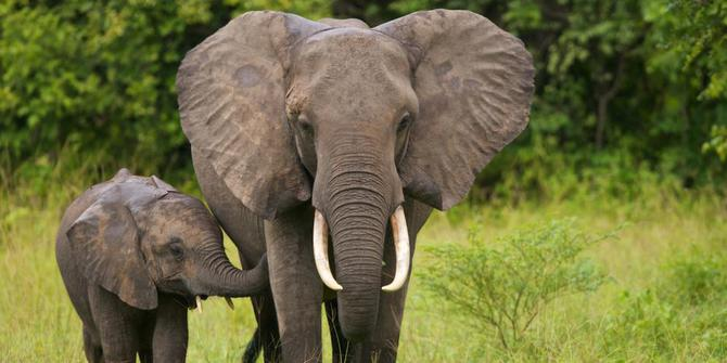 about an elephant essay