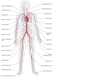 diagram of the human circulatory system