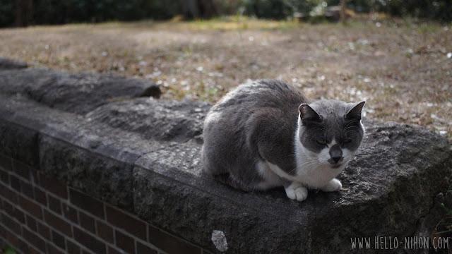 Stray cat at Kannonzaki