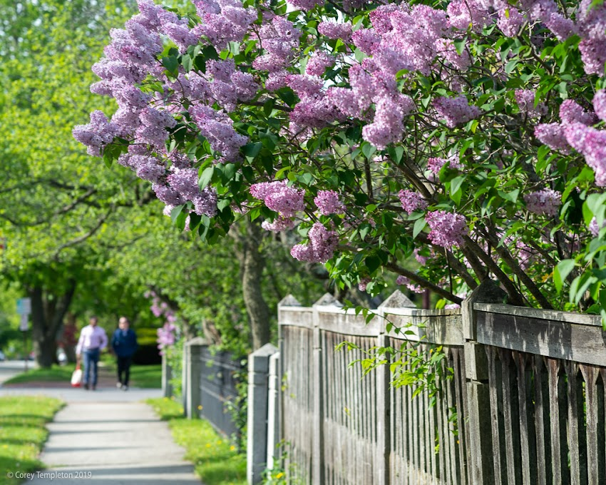 Portland Maine USA June 2019 photo by Corey Templeton. Always need to stop and smell the lilacs this time of year. Photo from Vaughan Street.