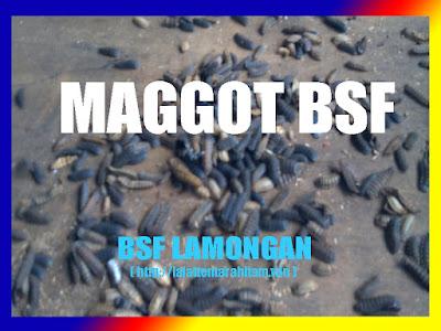 Maggot BSF pakan alami untuk semua hewan pelihaan kita