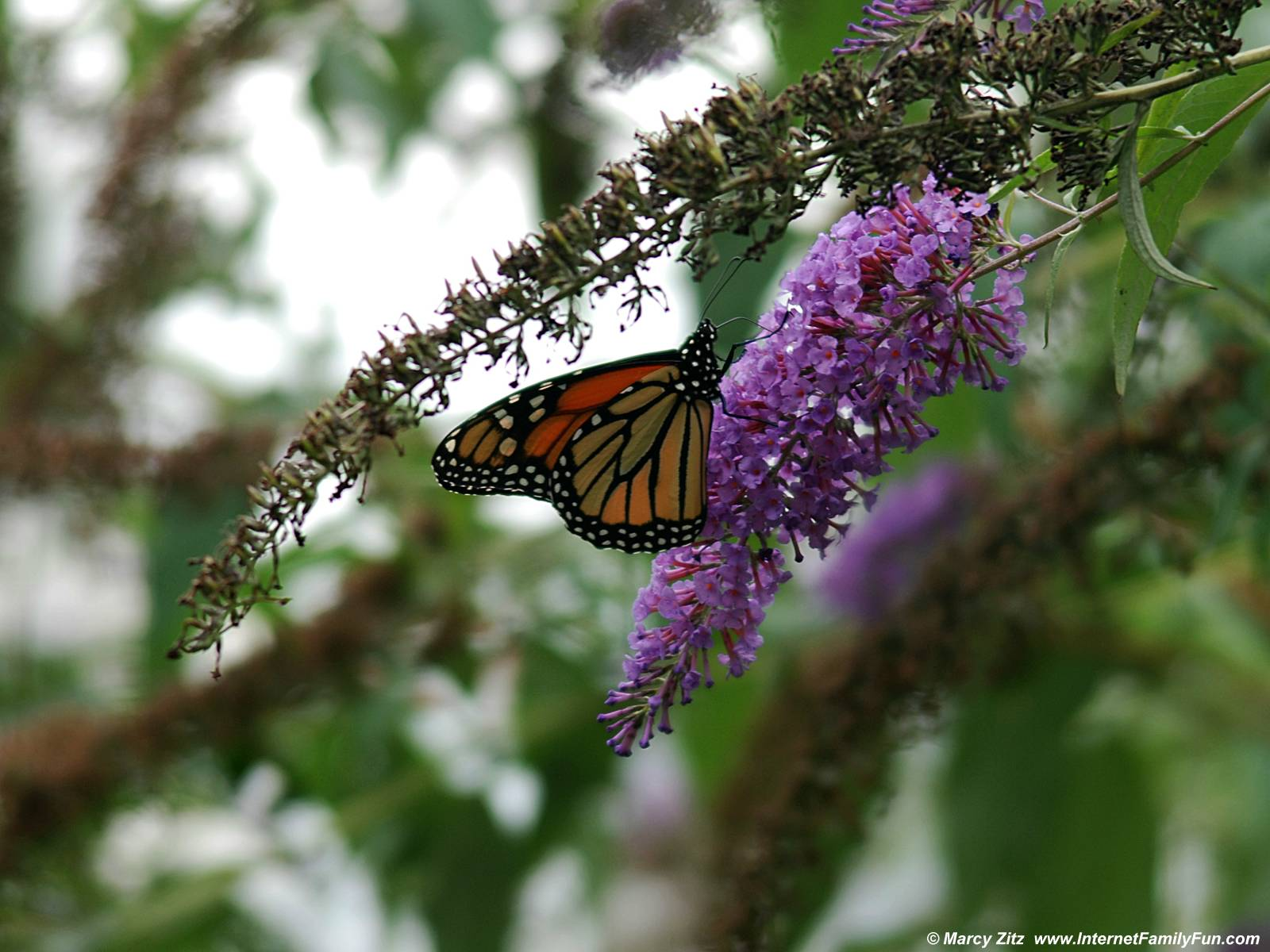 Funny Pictures Gallery: Monarch butterfly wallpaper ...