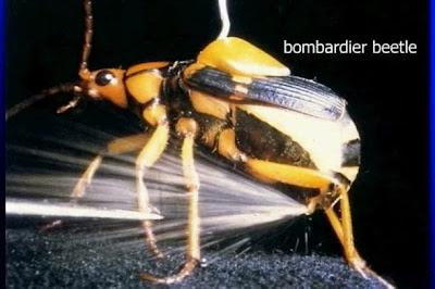10 อันดับสัตว์, จัดอันดับ, ชีวิตสัตว์, สัตว์มีพิษ, สิบอันดับสัตว์, แมลงปีกแข็งบอมบาร์ดิเออ (Bombardier)