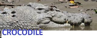 10 lines on Crocodile