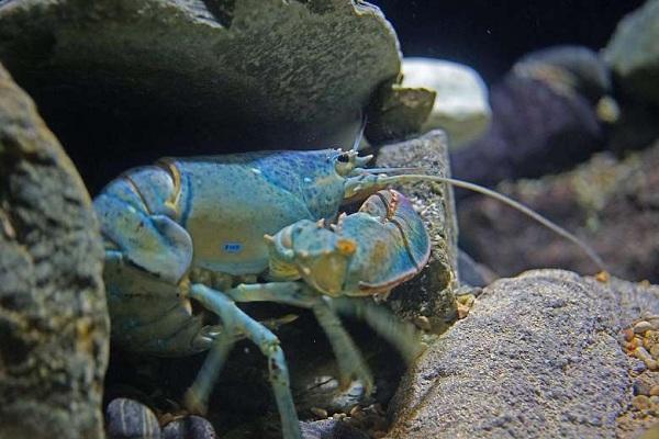Blue Lobster - loài tôm càng xanh sở hữu màu sắc độc đáo