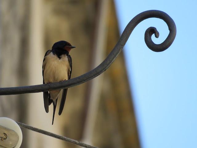 Road trip in Sicily - Swift (bird)