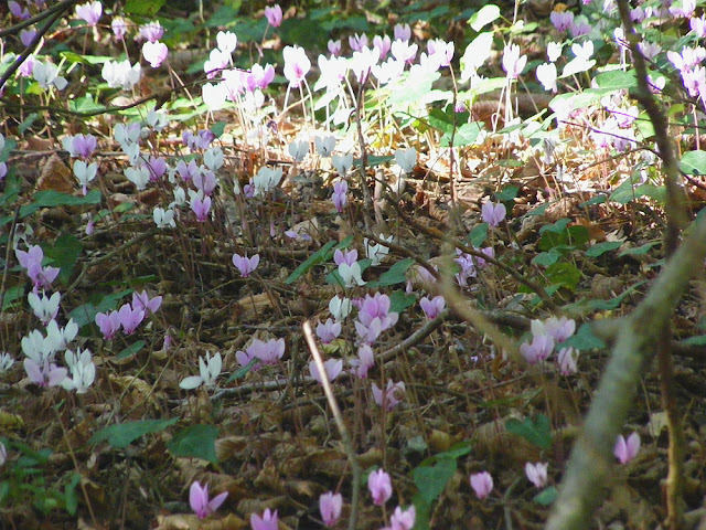 Naturalised cyclamens, Indre et Loire. France. Photo by Loire Valley Time Travel.