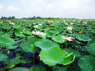 lotus-sagrado-no-lago-com suas-grandes-folhas-acima-da-superficie-dagua
