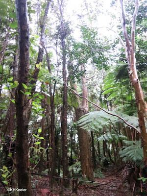 forest, Hawaii Tea, Volcano, Hawaii