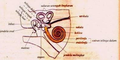 Telinga ialah Organ badan insan yang berfungsi sebagai indra pendengaran dan organ yan  Bagian-Bagian Telinga dan Fungsinya