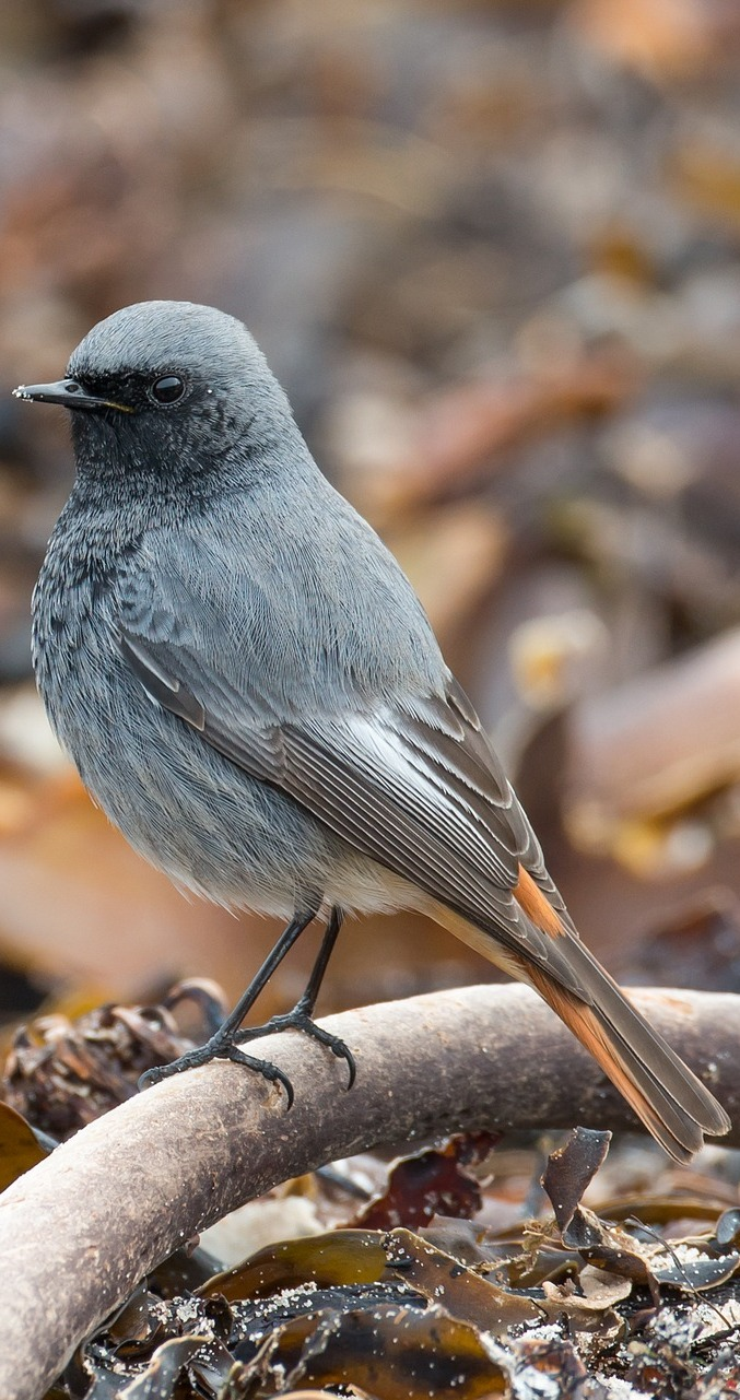Picture of a black redstart.