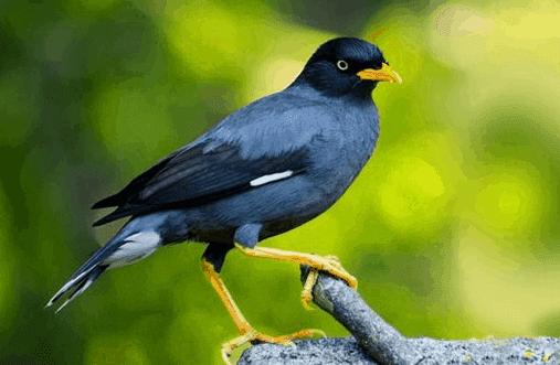 cara memaster burung jalak
