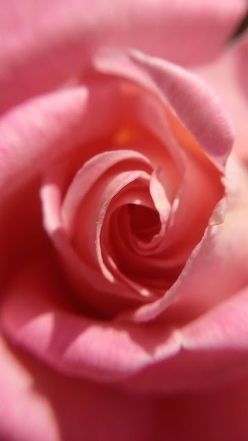 Photography-composition-rules_fill-the-frame_rose-wallpaper
