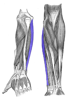 flexor carpi ulnaris muscle