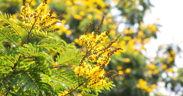 Soga (Peltophorum pterocarpum)