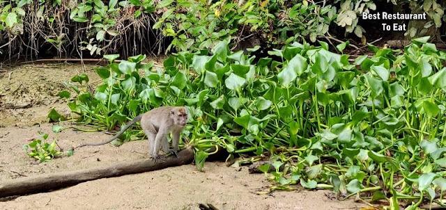 Myne Resort Bilit Sandakan Kinabatangan - proboscis monkey