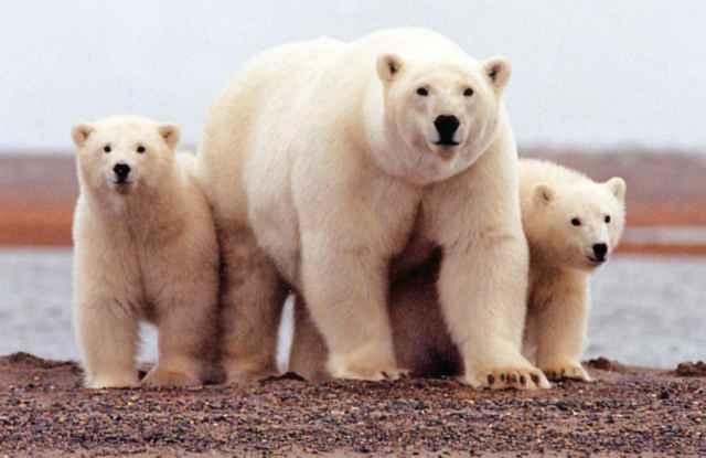 الدب القطبي الأشيب