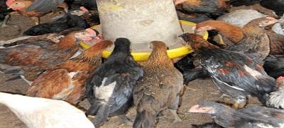 6 Cara Membei Pakan Ayam Jawa Super dengan Baik dan Benar