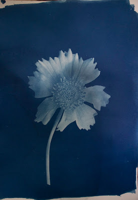 A cyanotype image of a sunflower anda blurb about switchel.