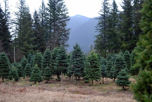 How to Pick the Perfect Christmas Tree - Rachel Teodoro